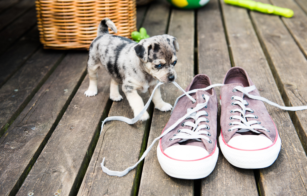 Dog chewing on shoelaces.