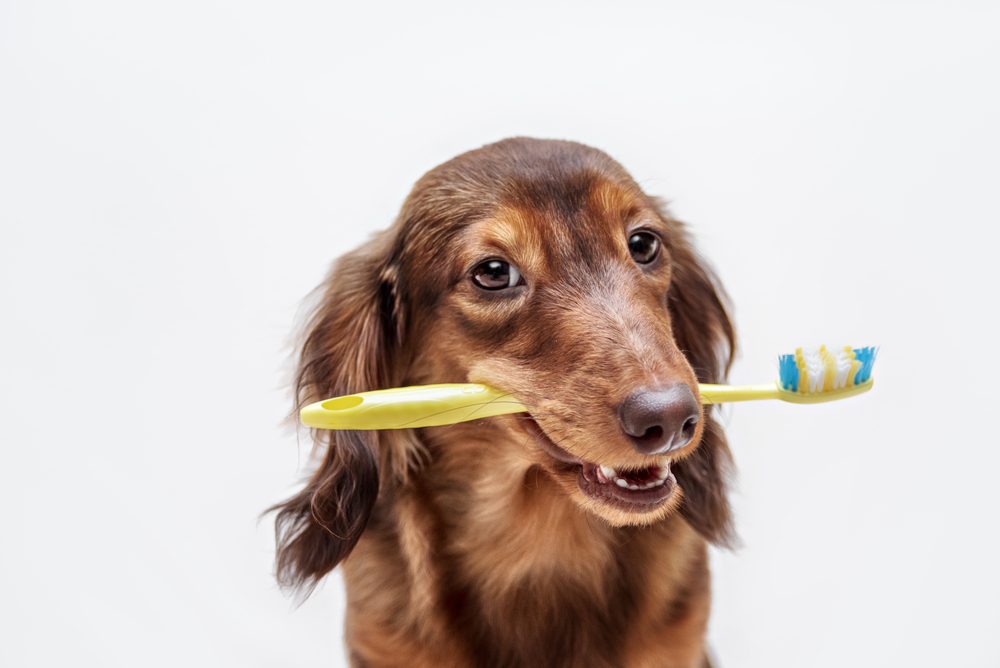 pet dental services